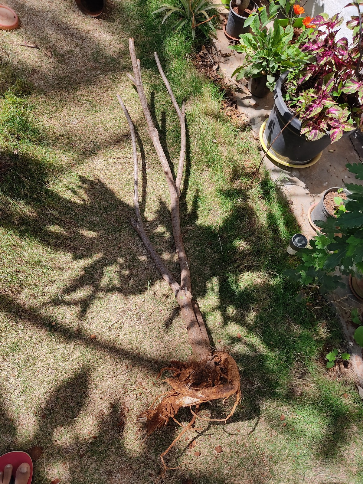 Dominating Plant Uprooted