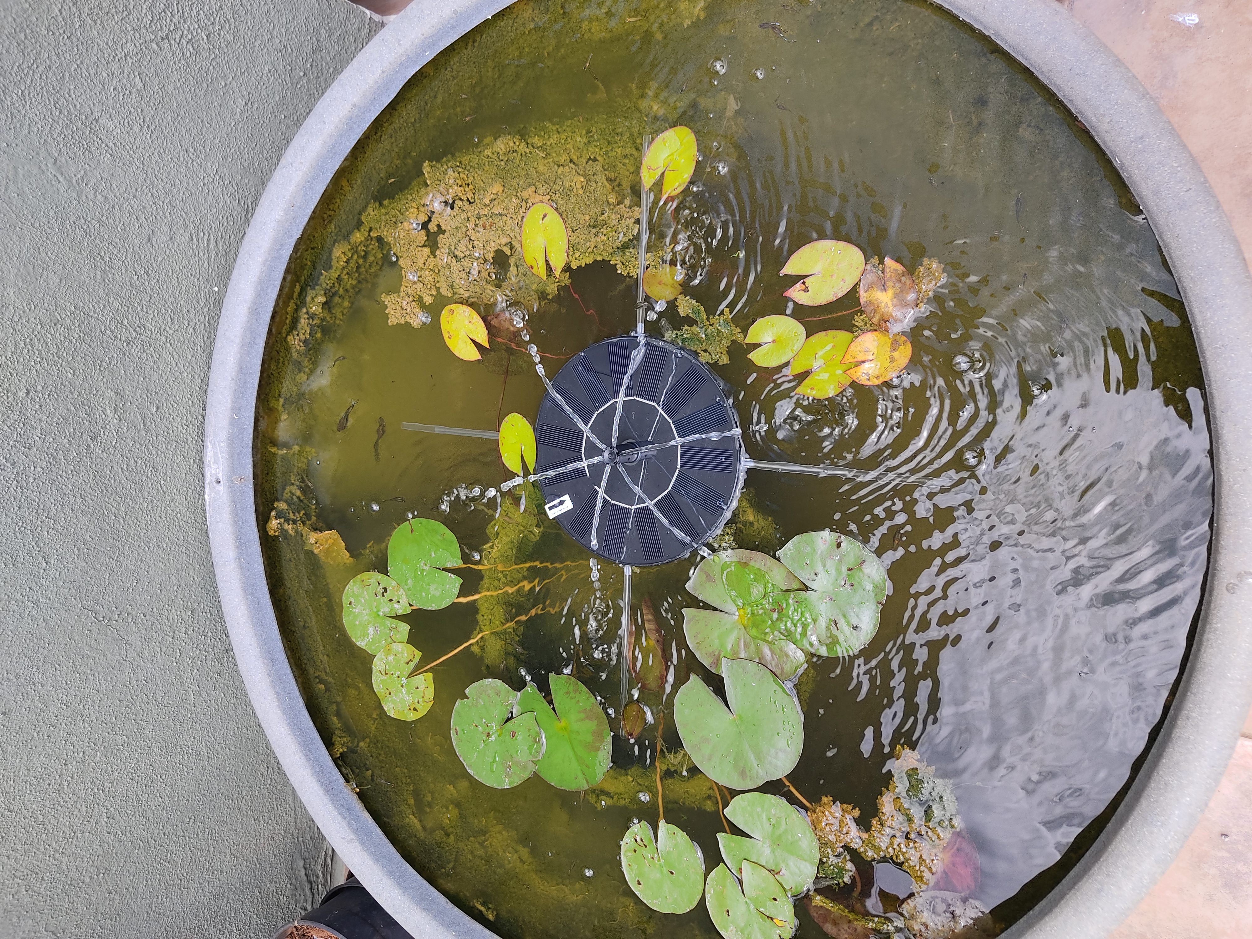Initial lily pond setup
