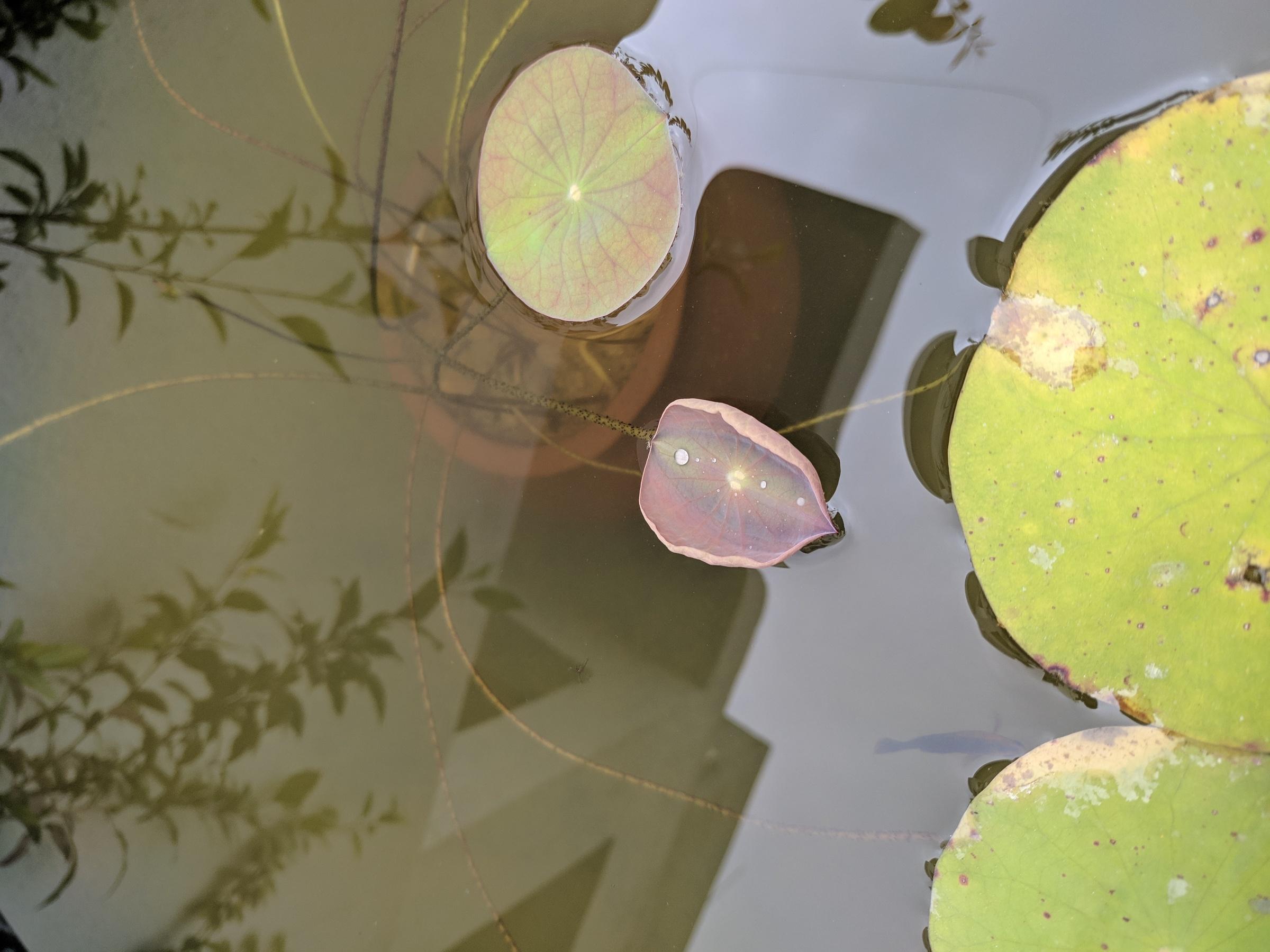 Lotus Shoot Developing Leaf