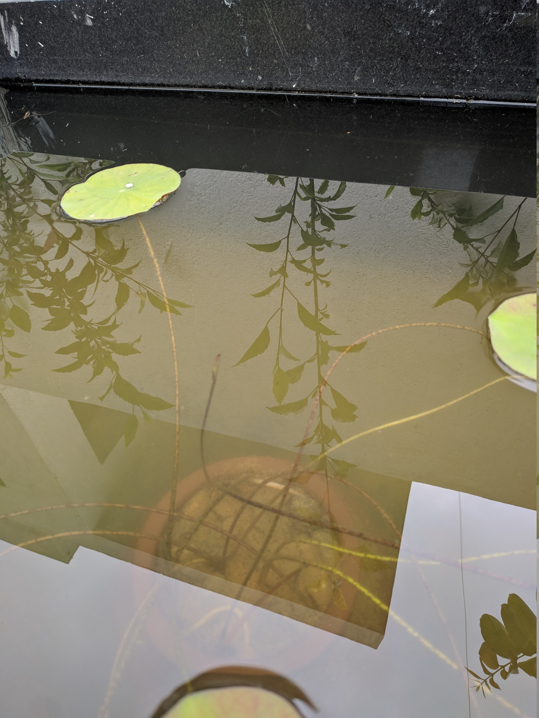 Lotus Shoot Inside Water