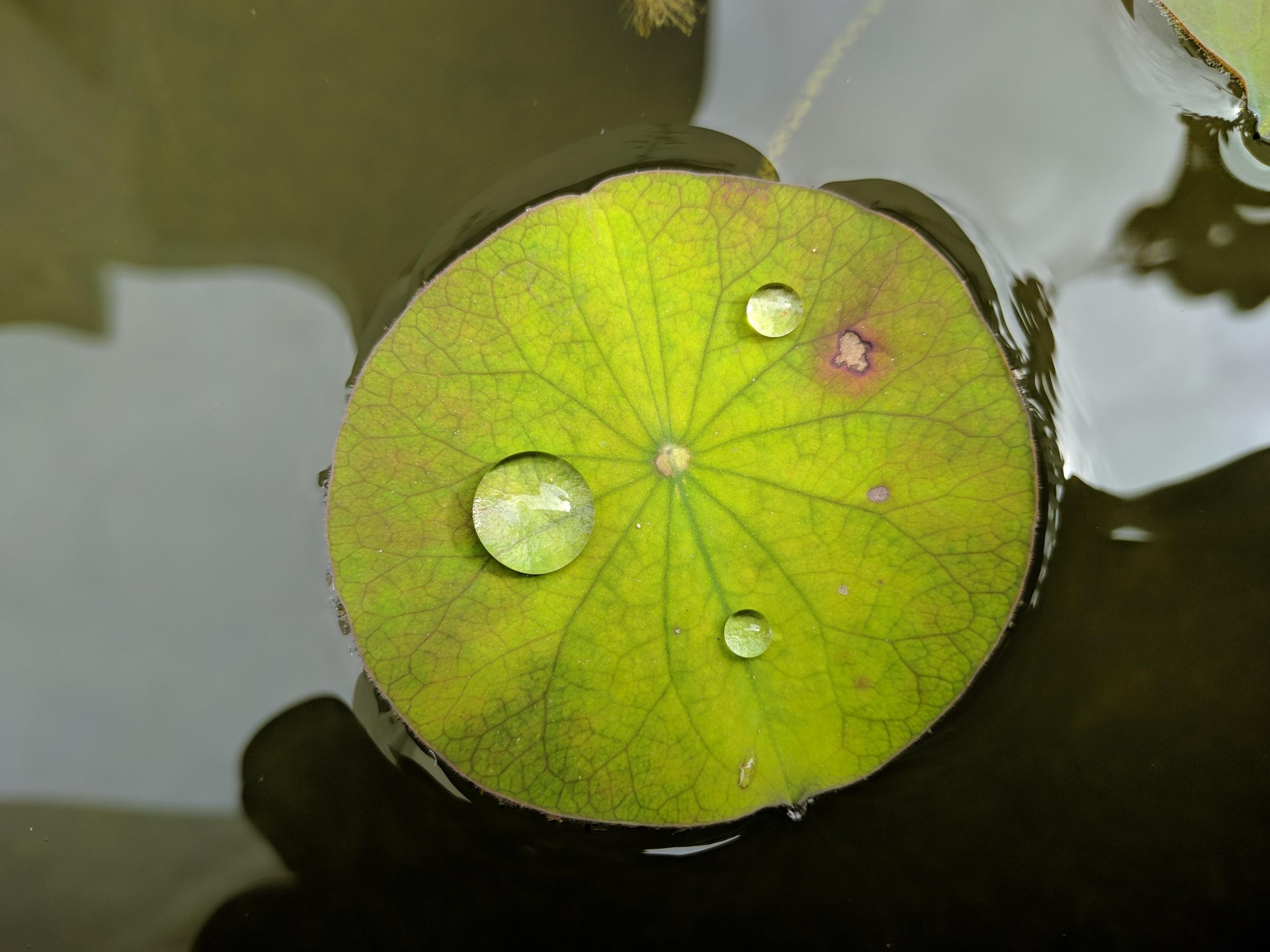 Lotus leaf veins and water droplets