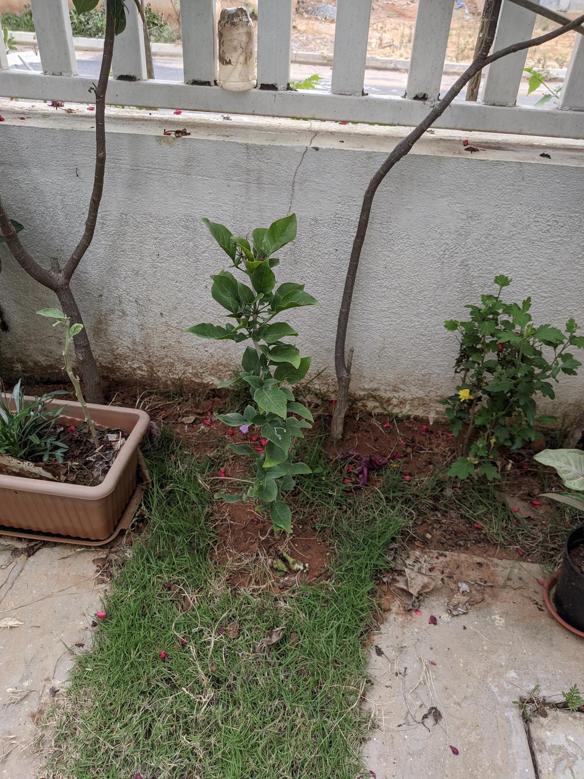 Healthy Bael Plant