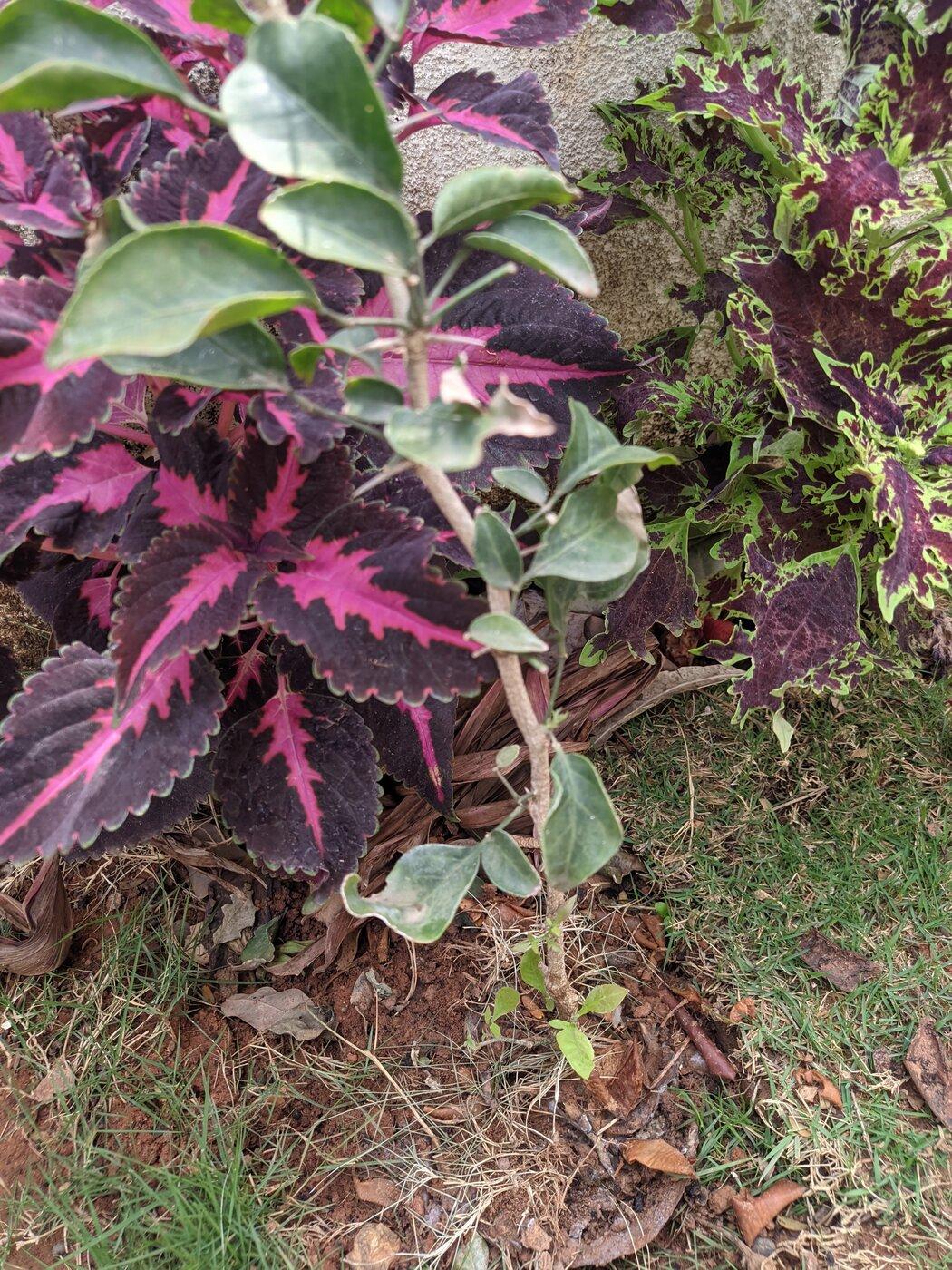 Very Sick Bael Plant