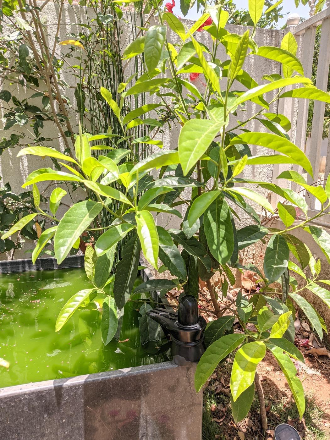 Rudraksha Plant